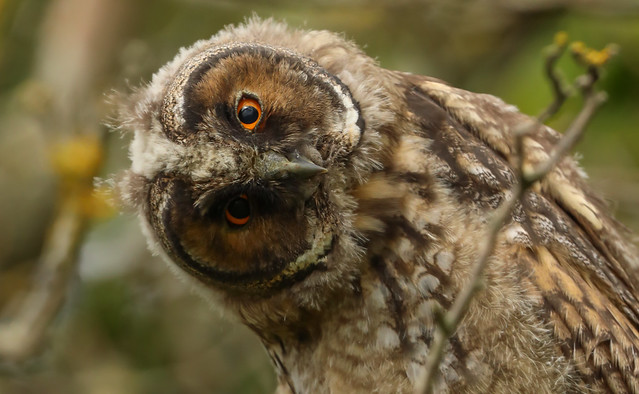 Young Long Eared Owl