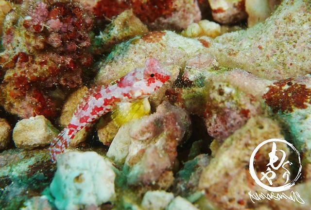 ミヤケテグリ幼魚ちゃん。