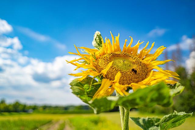 sole sunflower
