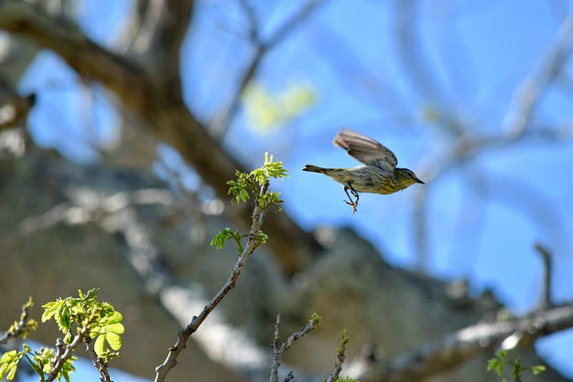 Cape May Warbler (femme - 2of2)