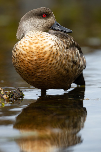 South American Crested Duck - Lophonetta specularioides