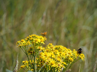 Bee and Small Copper sharing the ragwort