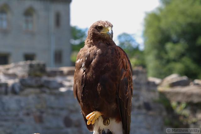 Sky the Harris Hawk (Explored 23/7/20)
