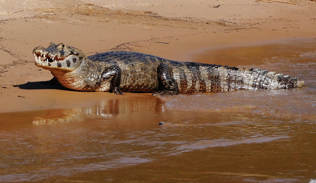 Yacare Caiman on the Beach (Caiman yacare)
