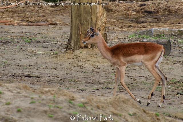 Impala -  Aepyceros melampus melampus