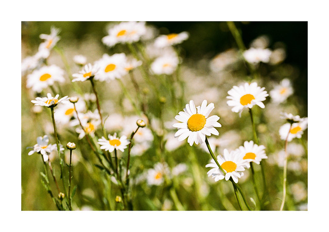 More big daisies