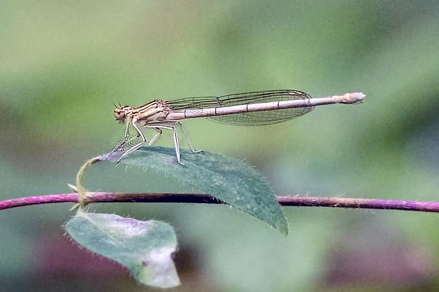 White-legged Damselfly -.Female