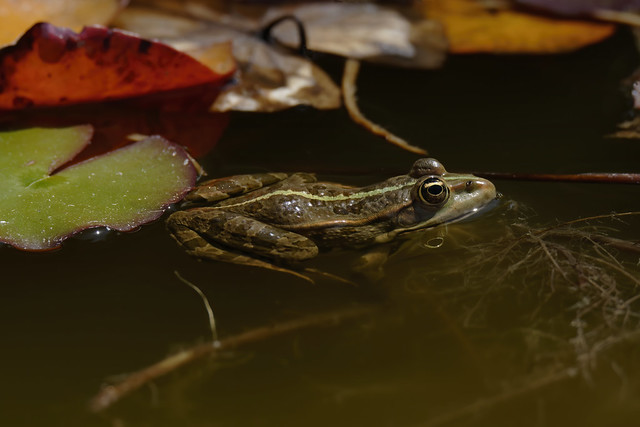 a green frog in a lake (6K resolution)