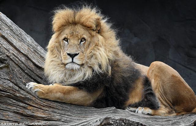 African lion - Tierpark Hagenbeck