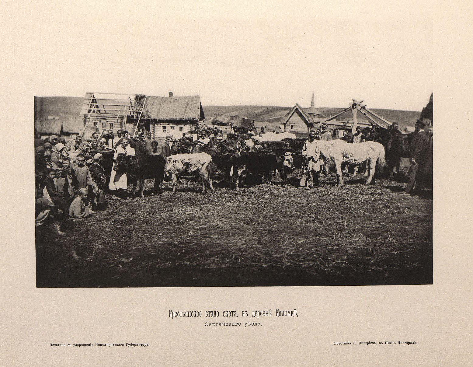 10. Крестьянское стадо скота в деревне Кадомке Сергачского уезда