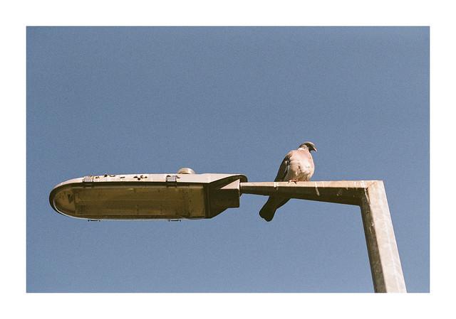Dove on a streetlight