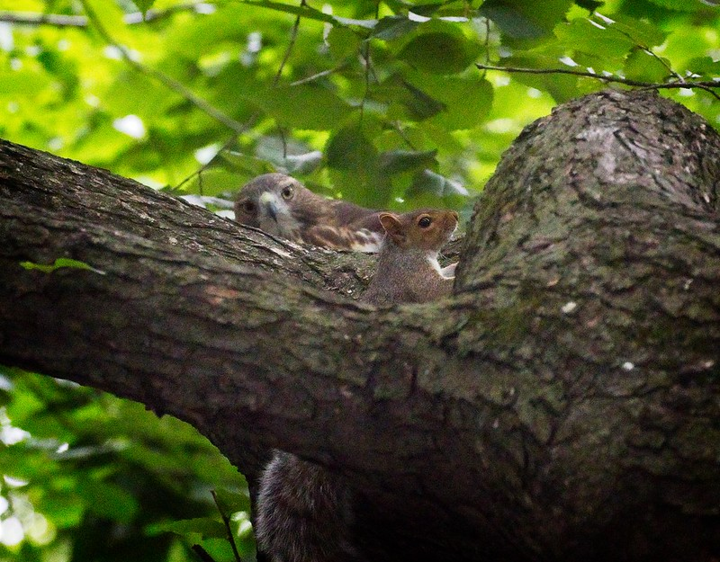 Red-tail fledgling and squirrel