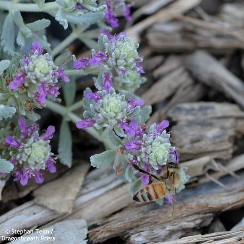 DSC_2773_Honeybee