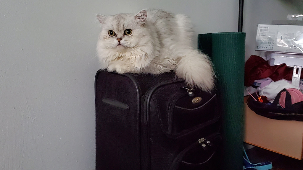 Pudding the Persian cat sitting on top of my luggage