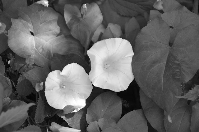 morning glory b&w