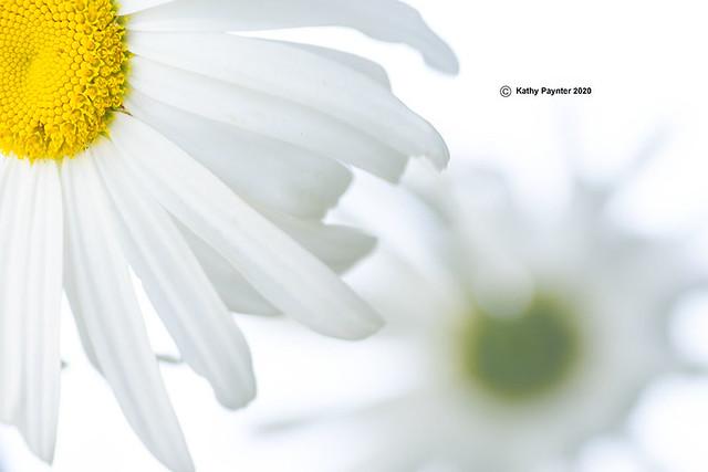 Daisy 1814