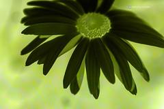 Daisy in Green 1785