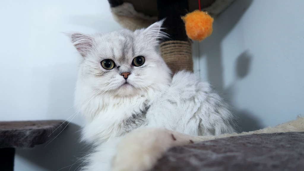 Pudding the Persian cat