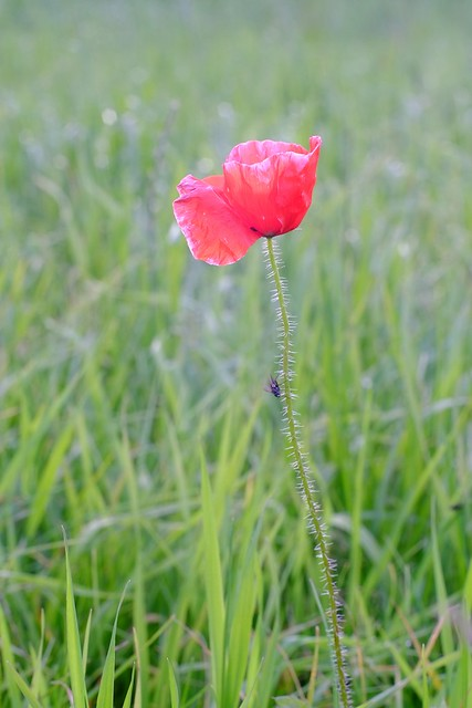 Poppy (with Fly)