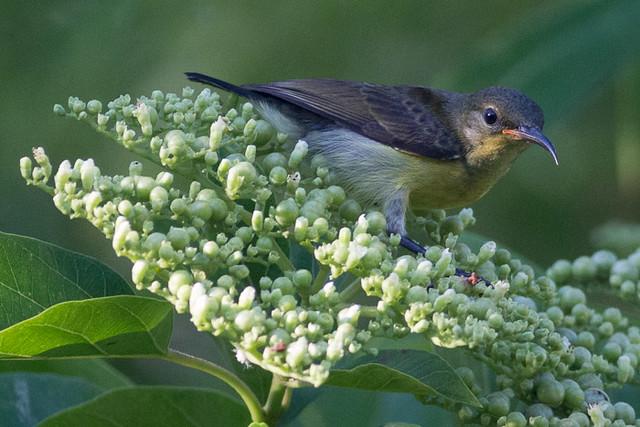 Van Hasselt's Sunbird  - female