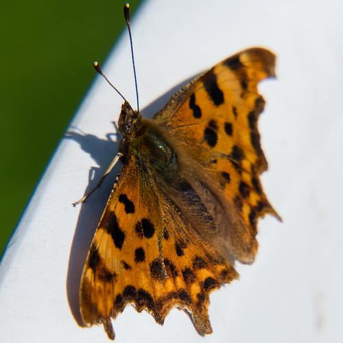 Garden butterflies - comma sunning