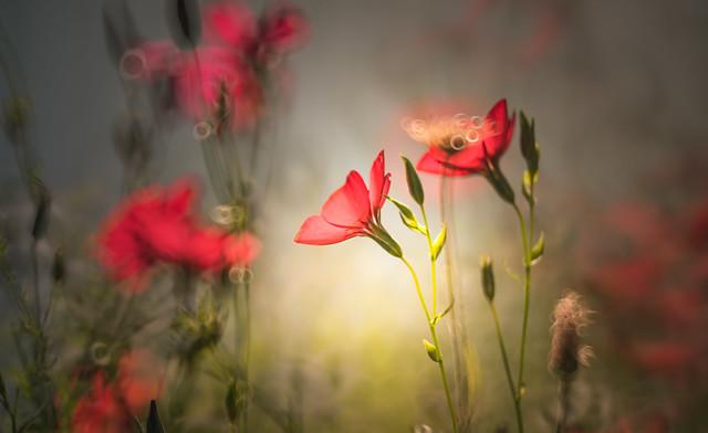 Scarlet Flax wildflower