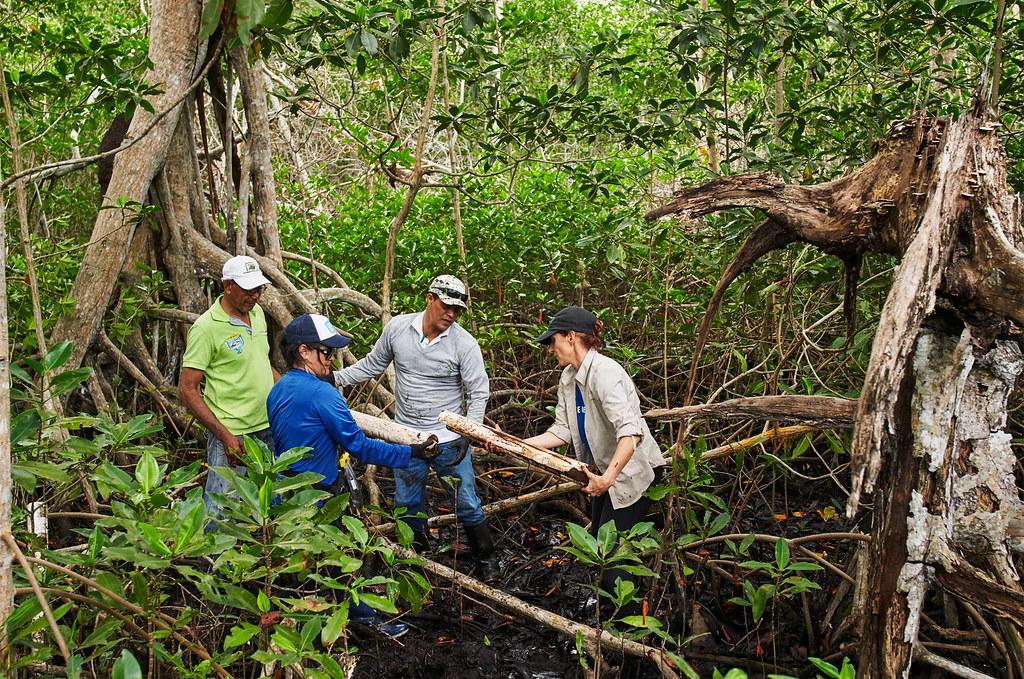Apple 還與保護國際基金會合作,共同重建並保護位於哥倫比亞的 2.7 萬英畝紅樹林。紅樹林的儲碳量最高可達陸上森林的 10 倍。