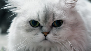 Pudding the Persian cat | by Parkzer