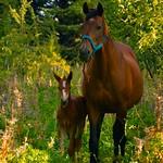 DEB-34 - Potranca y su Madre (Filly and her Mother)