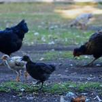 DEB-35 - Gallinas, Pollas criollas (Creole Dicks)