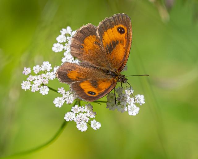 Gatekeeper Butterfly (male) (Explored)