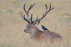 Red Deer stag and Jackdaw (HH)