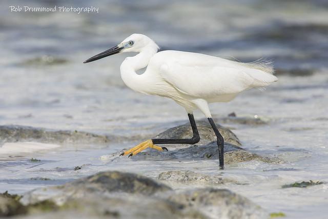 Little Egret - Zanzibar