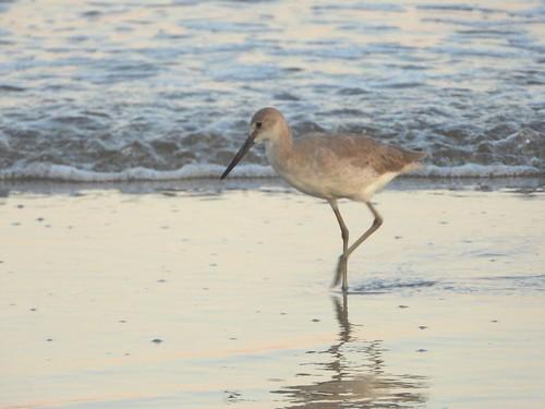 bird birds ave aves inthewild wading wadingbird willet hunting beach sand surf ocean coast coastline waves ripples oceanislebeach nc northcarolina closeup p1000 coolpixp1000 nikoncoolpixp1000 jennypansing