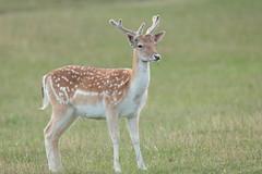 Fallow Deer buck in velvet (HH)