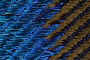 Peacock feather | by Micromundus