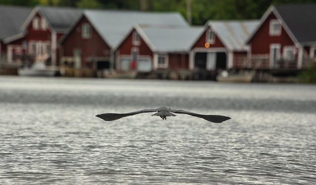 Gray Heron in HighCoast Sweden