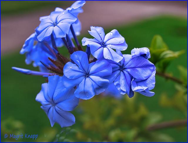 Planten und Blomen Phlox