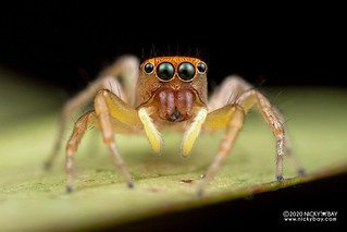 Jumping spider (Cosmophasis lami) - DSC_5450