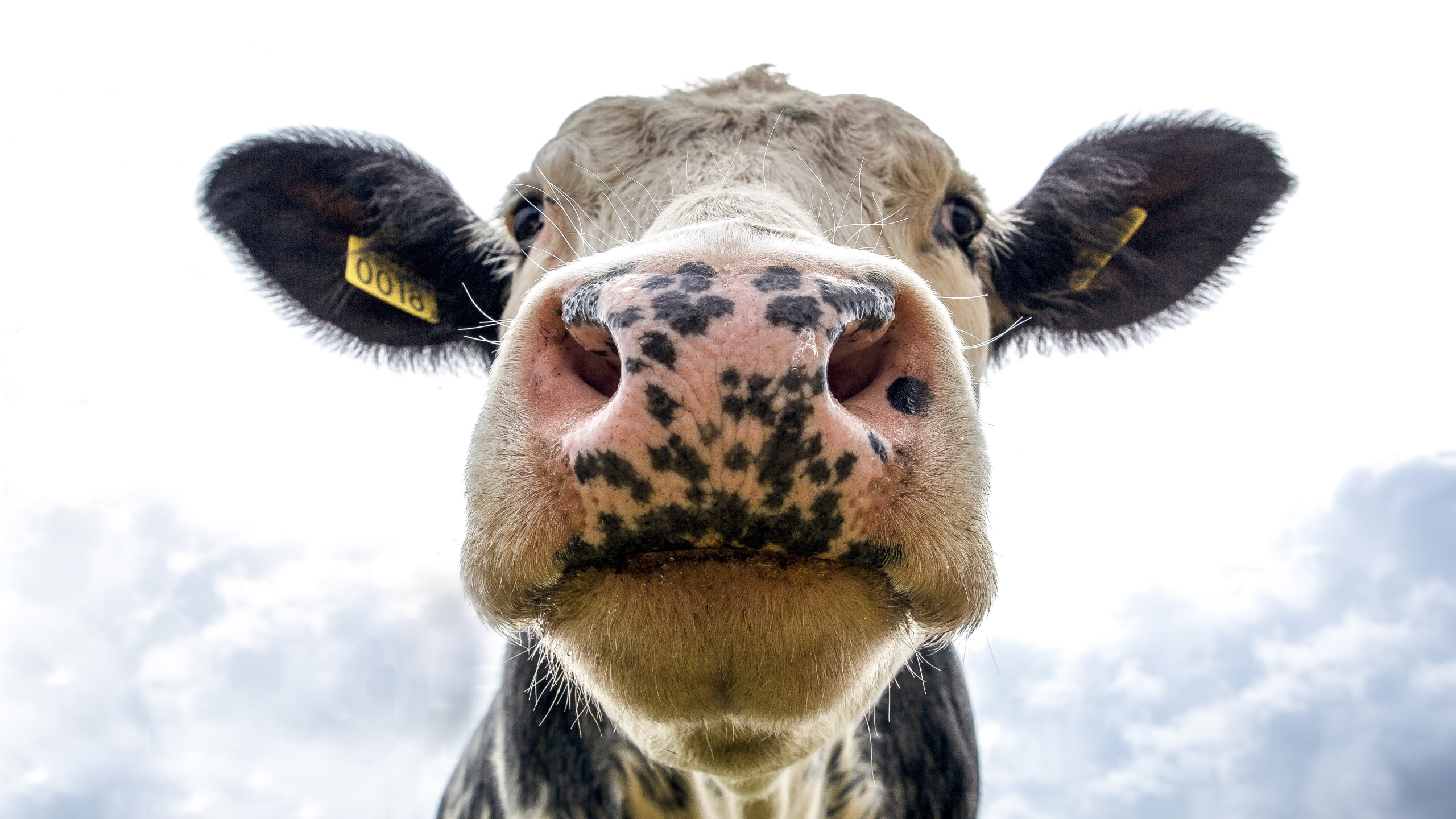 Close-up shot of a cow