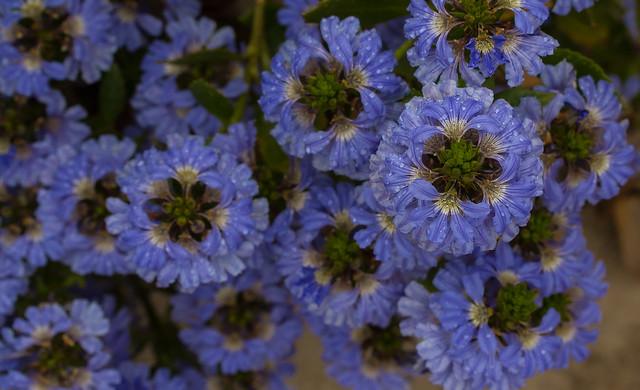 Thick-leaved Fanflower. Scaevola crassifolia