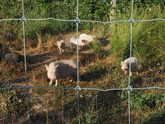 Rescate Cerdos Vietnamitas Montcada 2020