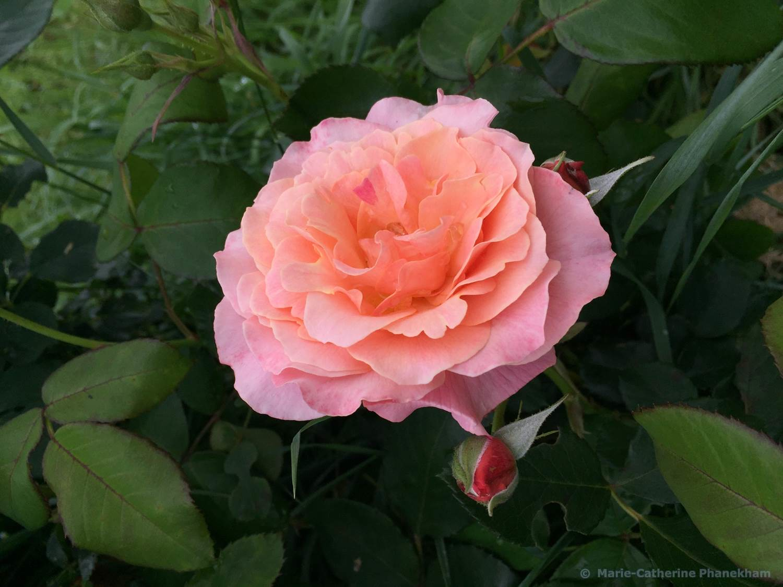 marie-catherine Phanekham Rose double fleur