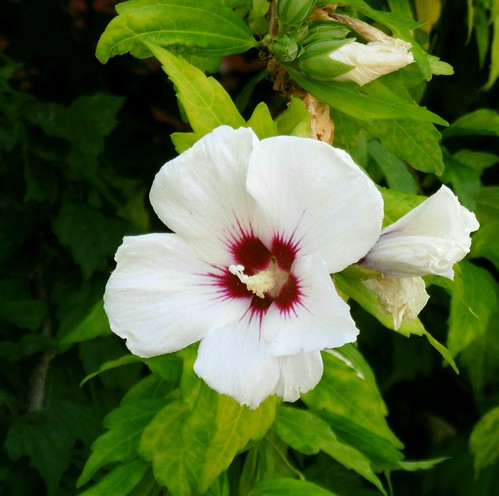 Flor-rotxapea