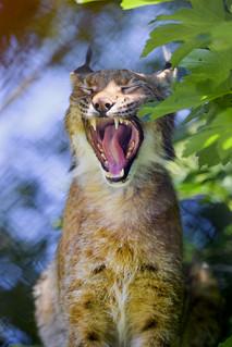 Female lynx yawing