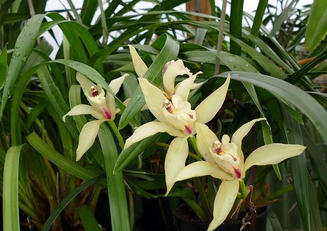 Cymbidium Eburneo-lowianym primary hybrid orchid
