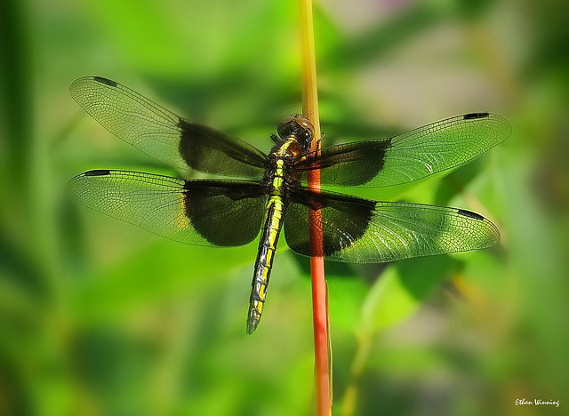 Female Widow Skimmer  7660
