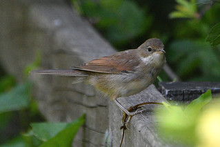Common Whitethroat (j) | by David Verrall