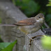 Common Whitethroat (j)