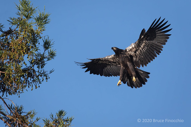 Recently Fledged Juvenile Bald Eagle Prepares To Land In The Top Branches Of A Redwood Tree